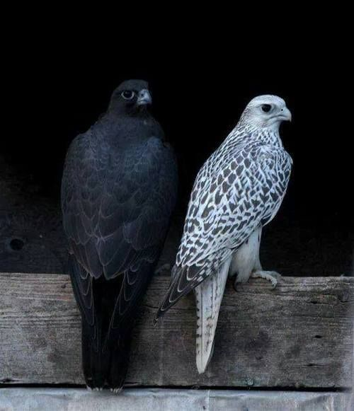 1000+ ideas about Peregrine Falcon on Pinterest | Falcons ...