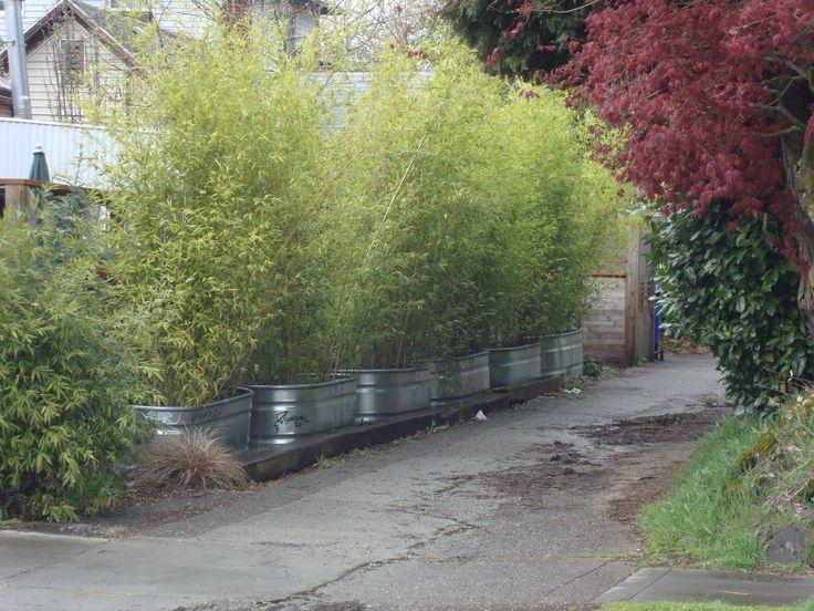 Bamboo in stock tanks for privacy
