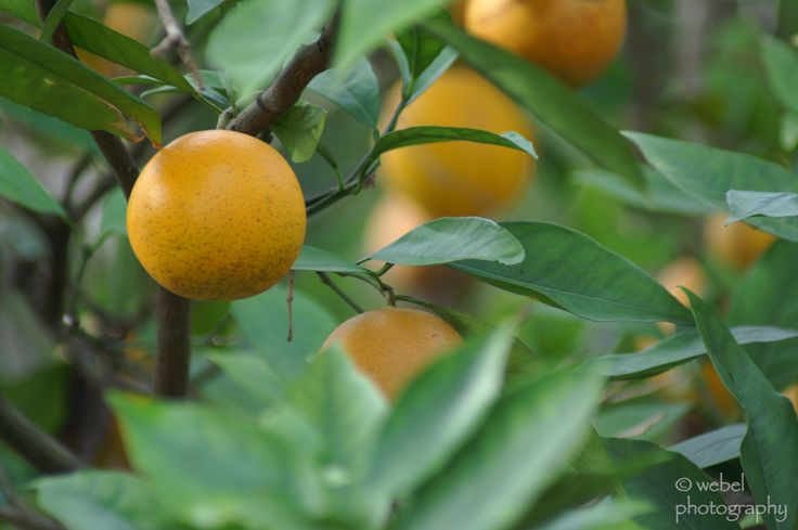 By Becca Badgett (Co-author of How to Grow an EMERGENCY Garden) Learning how to grow an orange tree is a worthwhile project for the home gardener, especially when your growing orange trees begin producing fruit. Orange tree care is not complicated. Following a few basic steps when taking care of an orange tree will keep…