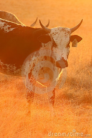 Nguni cow by Kaz2, via Dreamstime