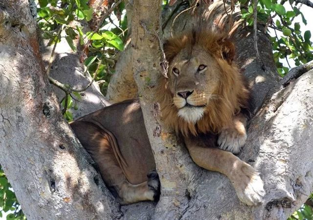 A rare group of tree-climbing lions living in Uganda must range farther and farther to find enough prey to survive, a new study found.