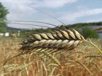Getreide Emmer