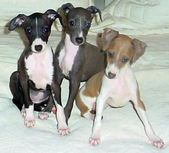 A Brief Introduction To Cute Italian Greyhound Puppies