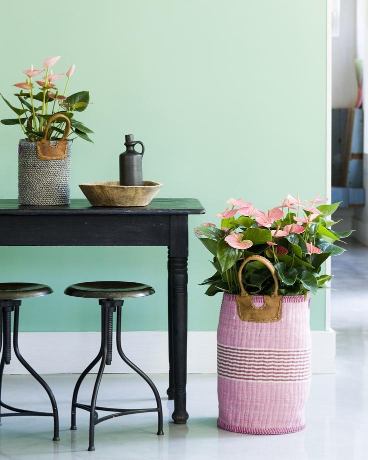 Planten in grote manden. Anthurium.