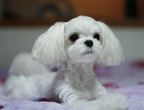 Haircuts for Maltese Dogs | Need Haircut Ideas - Maltese Dogs Forum : Spoiled Maltese Forums