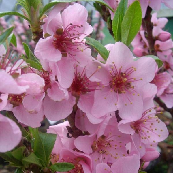 1000 Images About Patio Peach Tree On Pinterest Peaches
