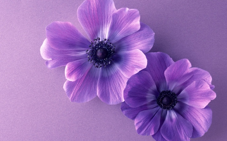 February birth flower--new baby??| Two violet flowers