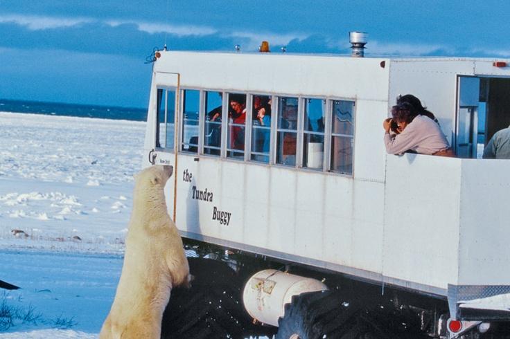 """Circuit Canada: """"Ours polaires de Churchill"""" au départ de Winnipeg (Manitoba)"""