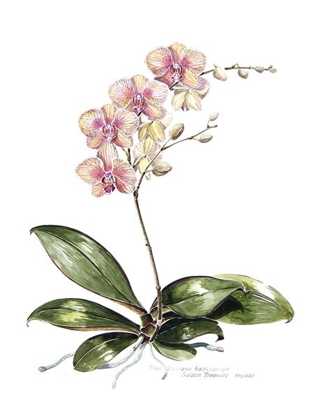 botanical drawings of orchids - Anna Dam-Volkle