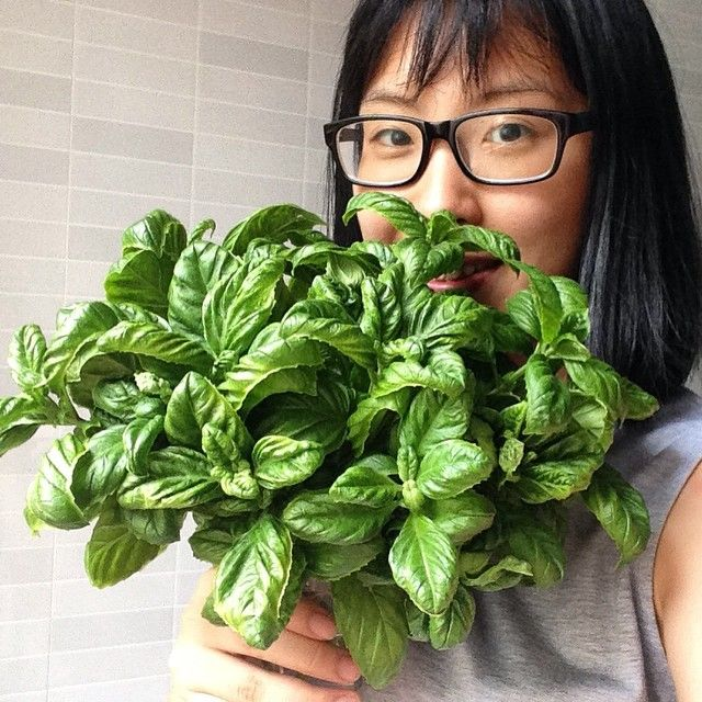 #basilleaves #pot #homegrown #backyard i am so lazy to use them for pesto since no one in the house know how to eat them. So I put this bunch of leaves in the kitchen to purify the air. Anyone that is looking for Italian basil in #penang #airitam can find me at lingreece@hotmail.com or pm my fb. They grow pretty fast, I harvest them every 2 weeks. So it's kinda wasted to throw them away~ #italianbasil #penangcafe #penangfood #herbsincooking #herbs #penangrestaurant