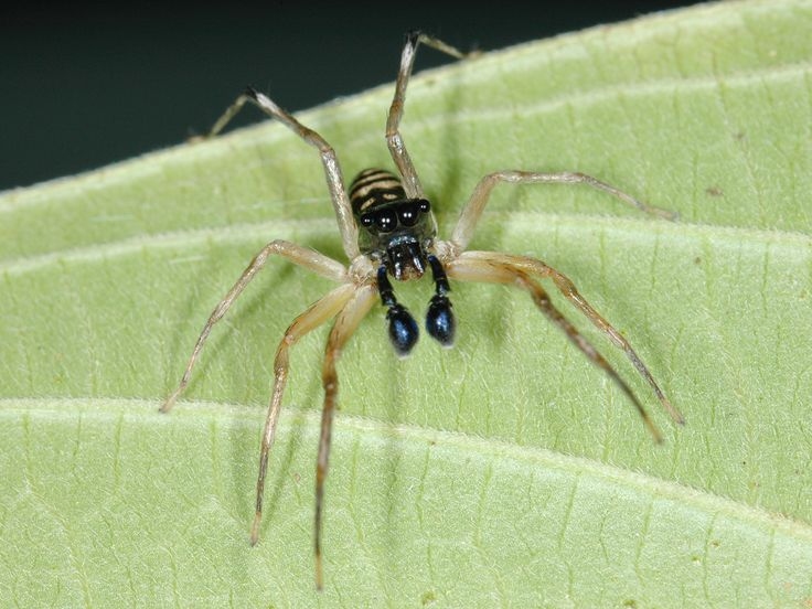 A photo of a mosquito-eating spider.