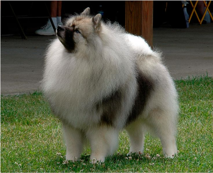 giant pomeranian keeshond the giant version of the pomeranian the 1439