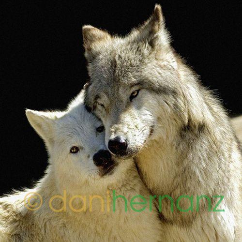 LOVE!!!   Lobo artico. LOS ANIMALES MAS BONITOS Y SORPRENDEN…   Flickr