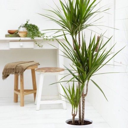 Dracaena  Better Homes and Gardens  Home Decorating