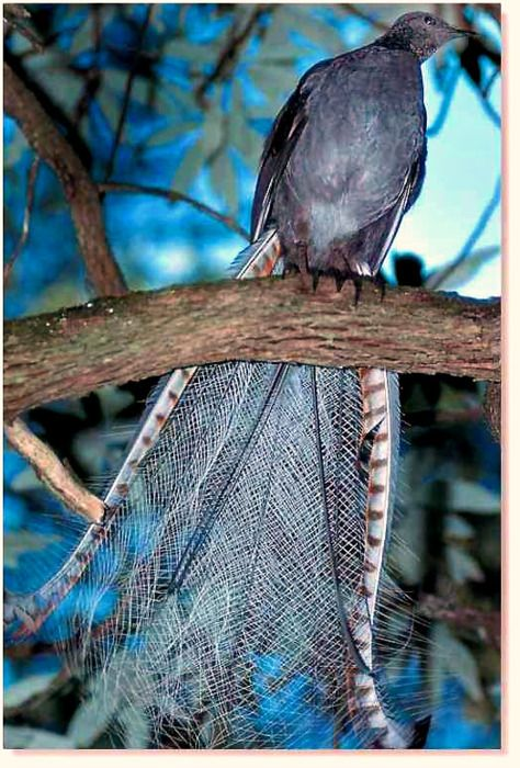 SUPERB LYREBIRD  Australia. This is my favorite type of bird and possibly my favorite animal.
