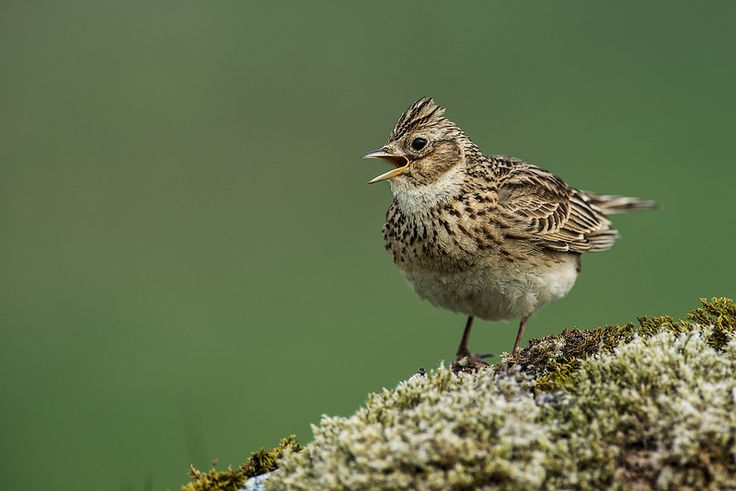 Sky Lark, Norway | by janmangorfagerland