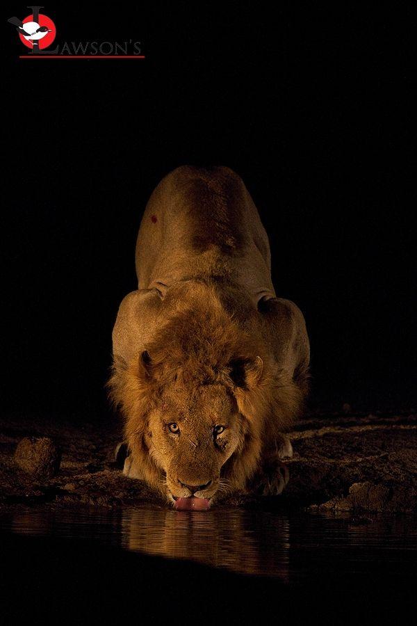 Lion drinking on night drive, #Sabi Sands.