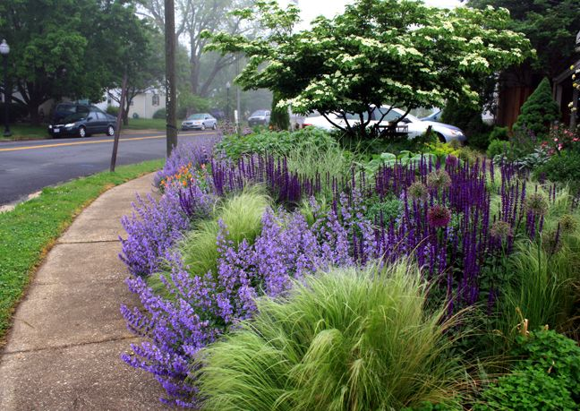 "Nasella tenuissima, Salvia 'Caradonna' and Nepeta ""Walker's Low"" adorn this colorful front garden landscape."