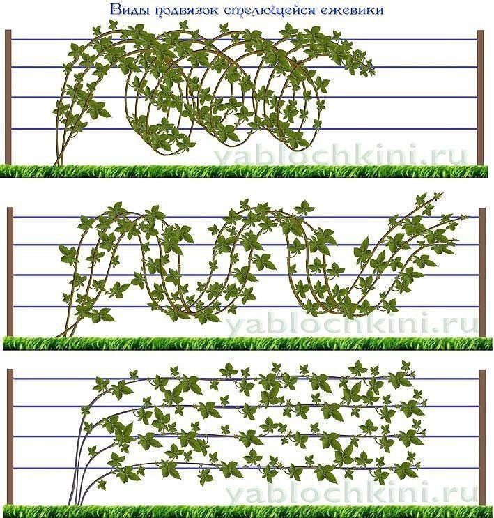 Секреты выращивания ежевики.