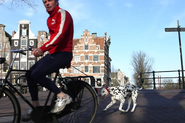 Beautiful Dalmatian dog sighted on the Prinsengracht in Amsterdam, NL