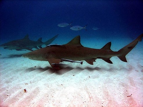 Sharks Learn New Skills From Other More Successful Sharks : TreeHugger