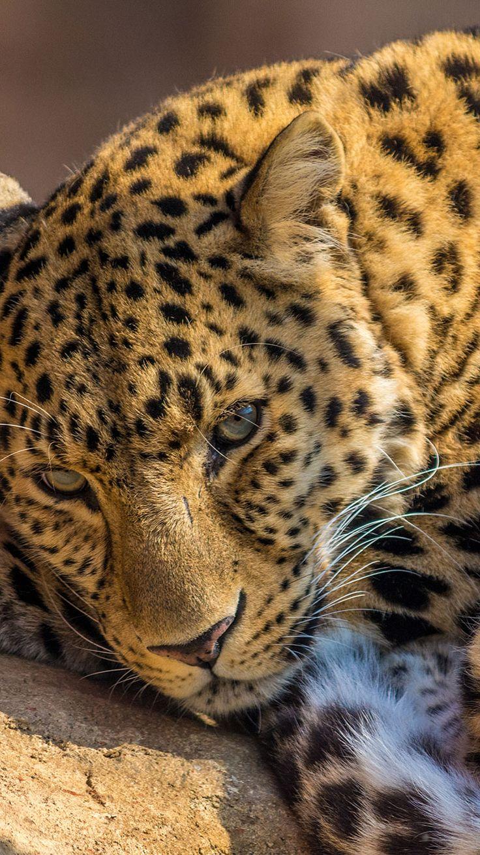 Leopard-iphone-6-wallpaper