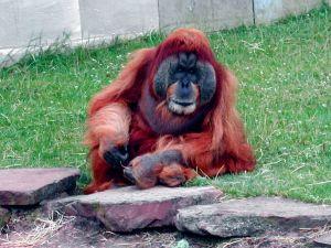 #OrangOutan #OrangUtan #Singe #Monkey #Affe #ZoodelaBoissièreduDoré #Zoo #Nantes #LoireAtlantique