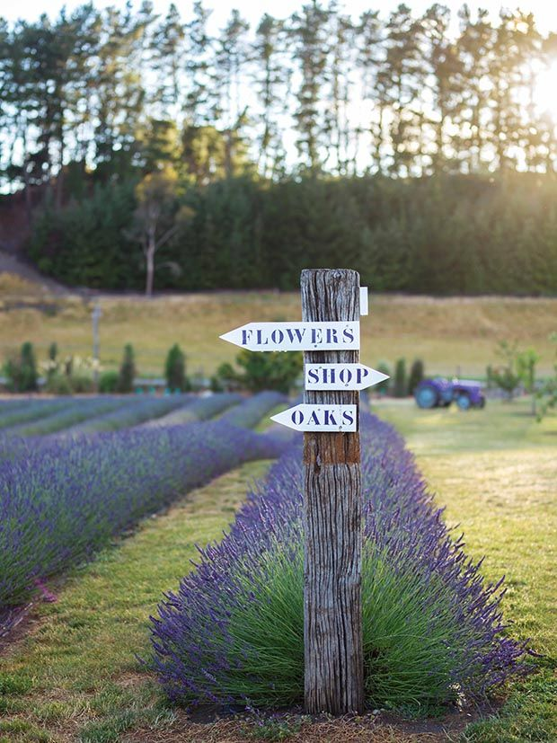 Growing a family business at Wanaka Lavender Farm from This NZ Life on Vimeo. Two brothers have turned a patch of Wanaka into a lavender business in full bloom. Words: Cheree Morrison  Photos: Rachel Hale McKenna Apart from a few rotund bovines, the land was bare when the two young men arrived. Twelve hectares of …