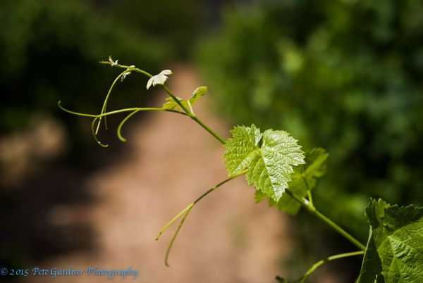 L1M1AP4 Vine Leaf, Margaret River. Nikon D810, Sigma 50mm Art Prime, 1/8000, f/1.8, ISO 80 Shot in full sun, I wanted a very shallow DoF, so ended up pushing shutter speed and ISO to their limits. Post process and export with lightroom.