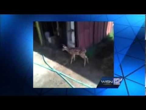 A dozen armed agents raid animal shelter to execute captive baby deer...    in my opinion this could have been handles better...how sad