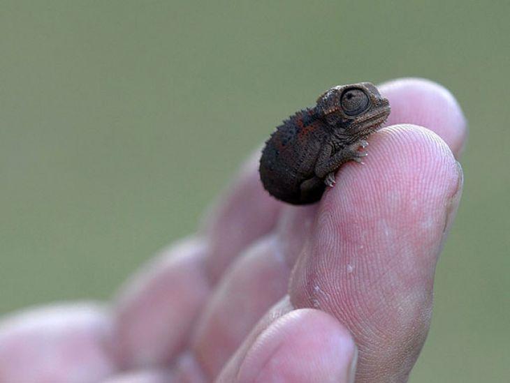 Bebé Camaleón en una mano