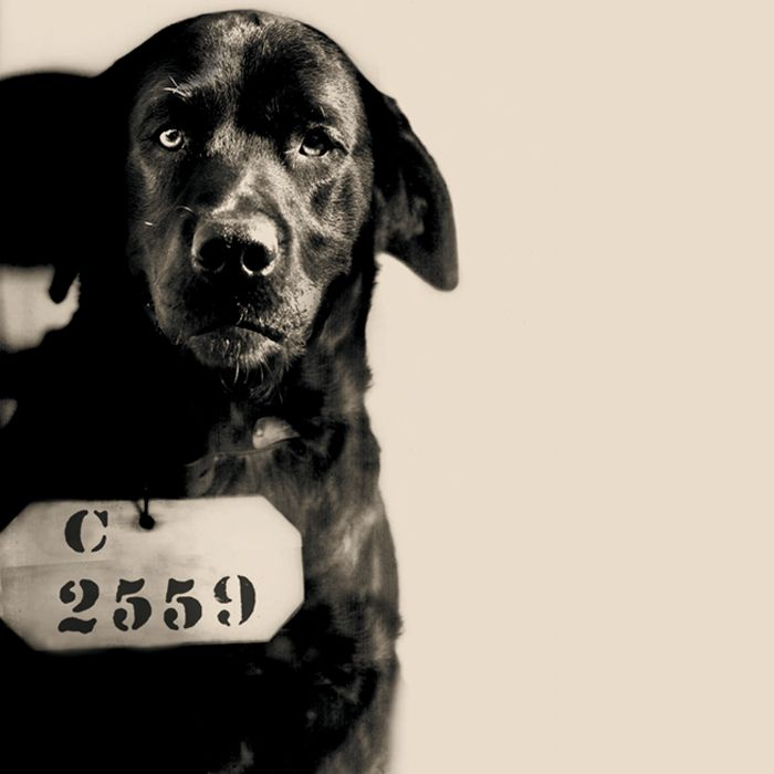 """""""Pep, The Cat-Murdering Dog"""" was a black Labrador Retriever admitted to Eastern State Penitentiary on August 12, 1924. Prison folklore tells us that Pennsylvania Governor Gifford Pinchot used his executive powers to sentence Pep to Life Without Parole for killing his wife's cherished cat. Prison records support this story: Pep's inmate number (C-2559) is skipped in prison intake logs and inmate records. The Governor told a different story. He said Pep had been sent to Eastern to act as a…"""