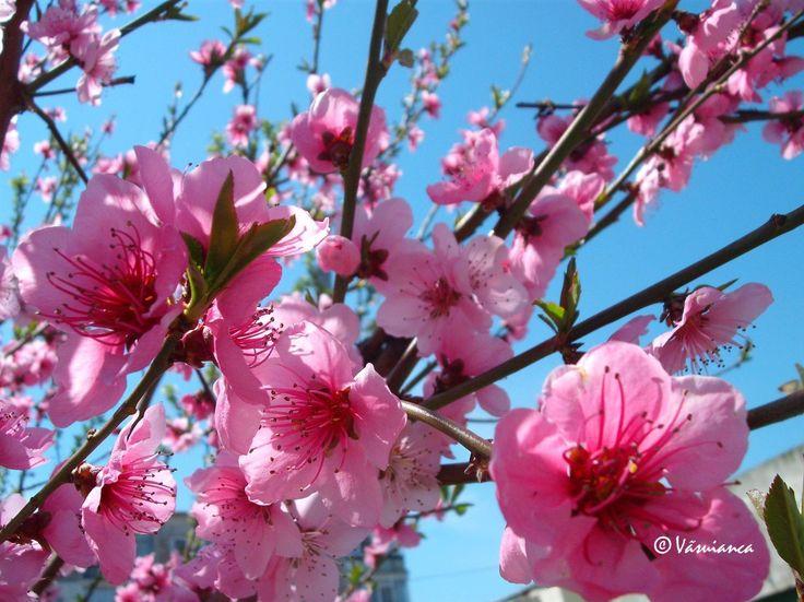 flori de piersic -