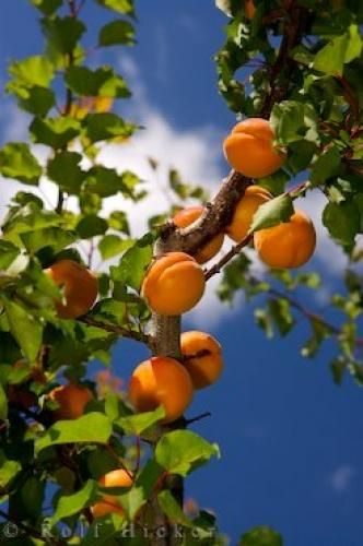 Photo of ripe apricots on trees in an orchard near Roxburgh in Central Otago, New Zealand.