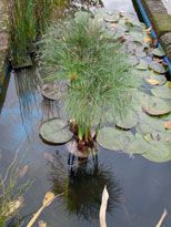 Cyperus papyrus 'King Tut'                                                                                                                                                                                 Más