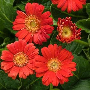 """If you love long stem floral arrangements, then you will want to add Hello!™ Miss Scarlet Gerbera Daisy to your list of """"must plant"""" plants for 2017. NEW! Trimming these blooms will actually encourage more blooms to grow. A great addition to any garden or landscape. Hello!™ Miss Scarlet is a bright, cheerful way to add a little happiness to any garden!"""