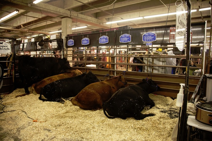 national western stock show 2013 - Google Search | Cattle ...