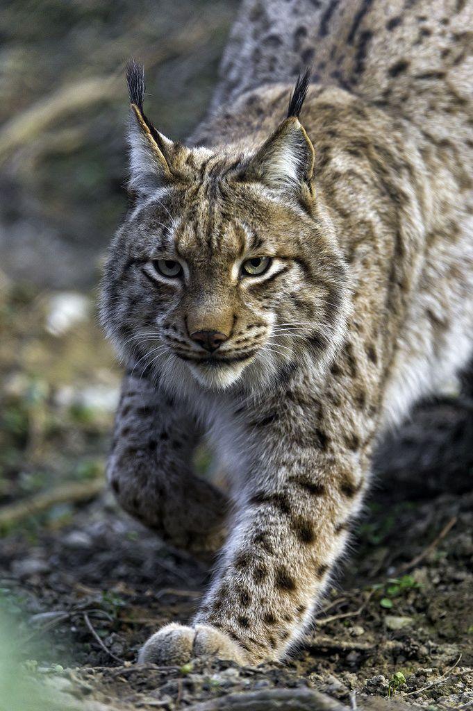 Worksheet. 103 best The Amazing Lynx images on Pinterest  Big cats Wild