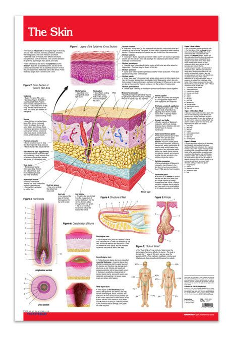 "Skin (Poster Size) 24"" X 36"", laminated. This skin covers a lot of area. This chart vividly describes and illustrates layers of the epidermis, skin area, nail structures, pimples, burn classification, hair follicles, and the Rule of Nines."