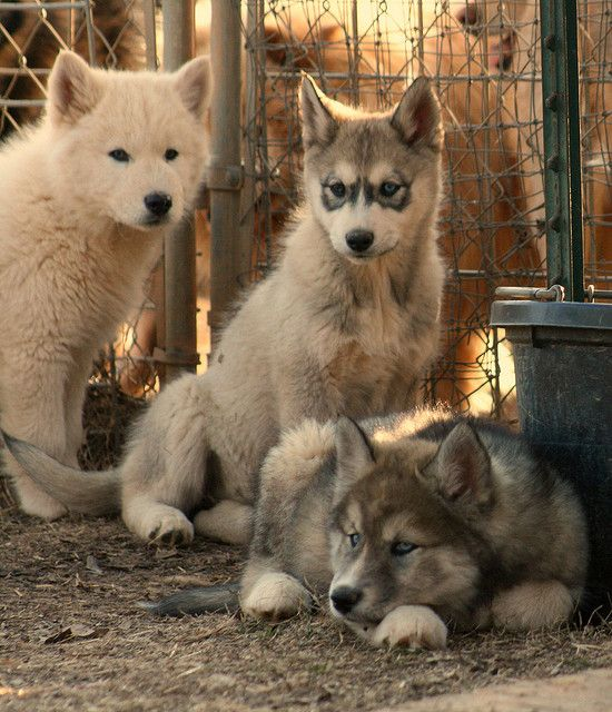 Wolf-Dog Puppies. So friggin cute. I want one. Ilike the far one on the right. I want a white wolf dog.