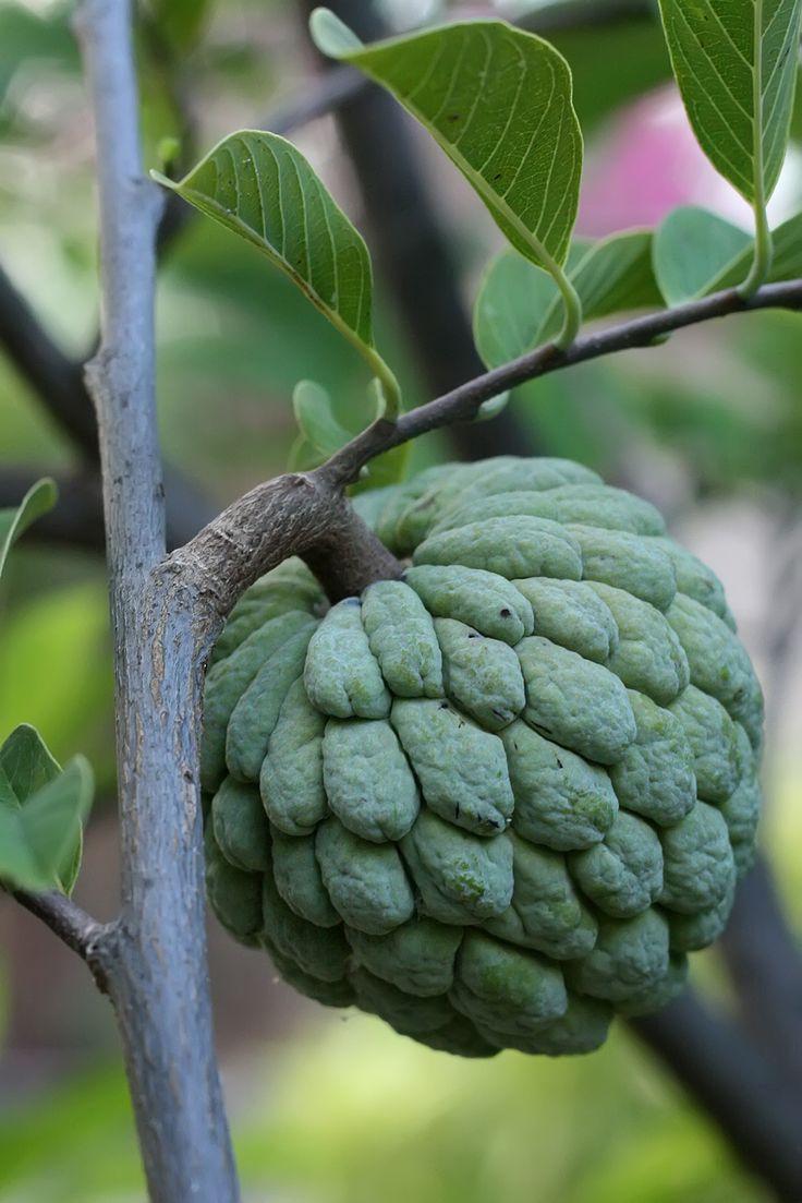 Экзотический фрукт Сахарное Яблоко ...