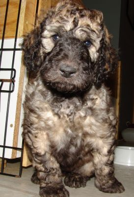 brindle labradoodle - Google Search | Miscellaneous ...