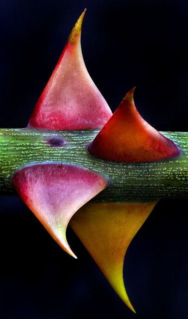 Observe that Rose Thorns never grow at azimuths of North, South, East, and West ... Rather, they are surface spread along their branch's radius to protect against creatures that tread trails moving North, South, East, and West. (Thorns by Darren Stone)