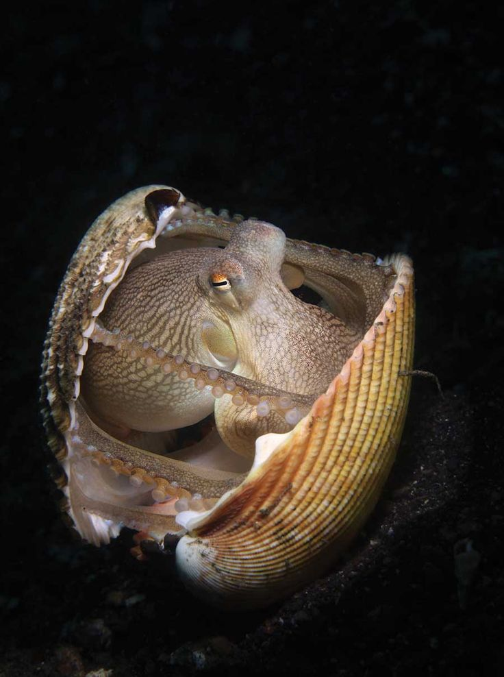 Scuba Diving Magazine's 2013 Photo Contest Winners - 3rd Place:  Coconut Octopus