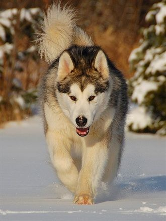 Alaskan Malamute    Origin: Alaska (United States)  Colors: White, black, wolf gray, wolf sable, red  Size: Large  Type of Owner: Experienced  Exercise: Extensive  Grooming: Twice a week  Trainability: A bit difficult to train  Combativeness: Tends to be dog-aggressive  Dominance: High  Noise: Likes to howl