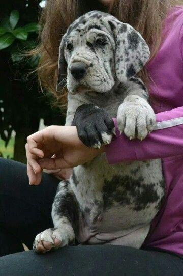 Adorable Great Dane Puppy