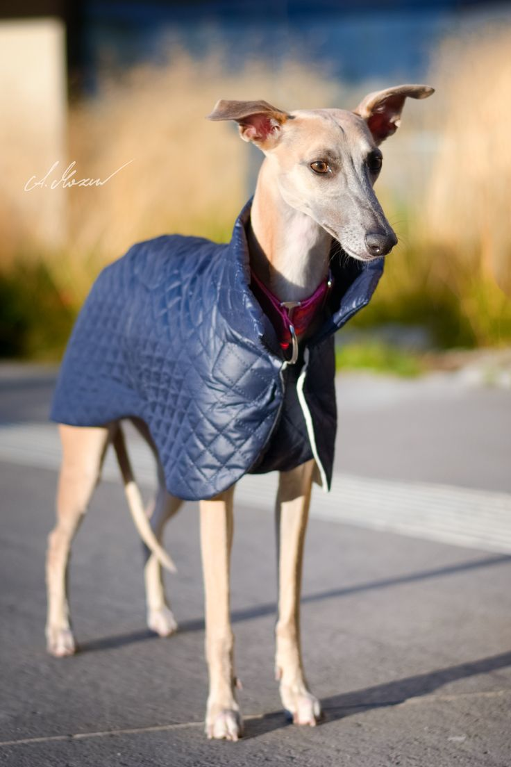 new Whippet coat design by zaCHARTowani. All rights reserved. See more at www.facebook.com/zachartowani