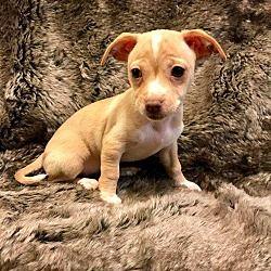 Lake Forest, California - Chihuahua. Meet Corona, a for adoption. https://www.adoptapet.com/pet/19969768-lake-forest-california-chihuahua-mix