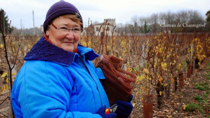 La vigne se prépare à la taille - on enlève les protections !