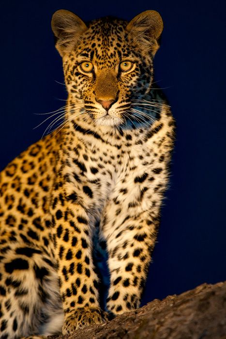 The Leopard…… | Andrew Aveley Photographer
